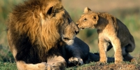 6713_lion%20and%20cub_3_200x100